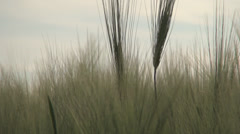 Close up ear of wheat, Green wheat field, Splendid background Stock Footage