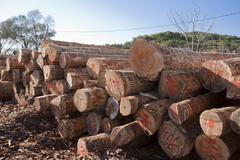 Felled pine logs - stock photo