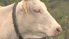 ULTRA HD 4K Closeup up domestic cow head detail muzzle mountain meadow looking  Stock Footage