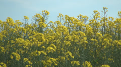 Rape in blossom in field, Colza Flowers in wind breeze, Agriculture, Farm - stock footage
