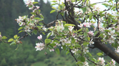 HD Apple tree flowers blossom. Springtime fruit trees plantation. Agriculture. Stock Footage