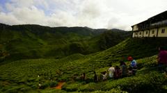 Cameron Highlands Tea Plantation Stock Footage