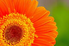 Orange gerber - stock photo