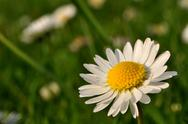 Stock Photo of Daisiy blossom on right side in gardern