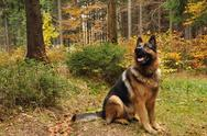 German shepard with autumn leaves in background Stock Photos