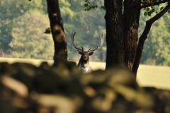 Fallow deer with forrest in background - stock photo