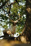 White fallow deer in forrest - stock photo