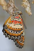 Swallowtail on white cocon - stock photo