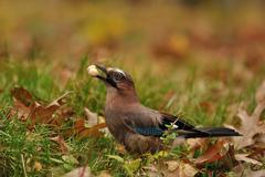 Jay with peanut in beak on grass Stock Photos