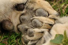 Lion paw - stock photo