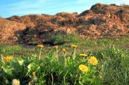Stock Photo of dandelions