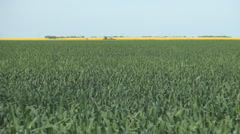 Green wheat field, yellow rape and blue sky. Beautiful view.  Stock Footage