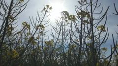 Beautiful  rape yellow flowers, Colza flowers in sunshine. Springtime Stock Footage