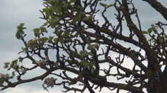 Old fruit tree in springtime begin to sprout. Fruit trees farm. Stock Footage