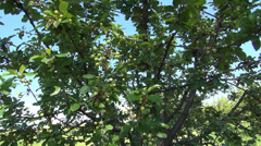 A green plum tree, orchard, springtime. Fresh green plum fruit hanging on tree. Stock Footage