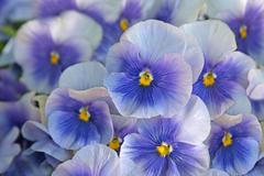 Blue pansies (viola) Stock Photos