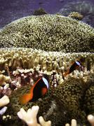Clownfish on the Great Barrier Reef Stock Photos