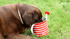 Panting and drinking Brown labrador - stock footage