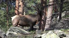 P03632 Rocky Mountain Elk Bull in Velvet Filmed in 4K Stock Footage