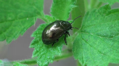 Macro Insect Chrysochus auratus Dogbane Leaf Beetle sitting on green leaf forest Stock Footage