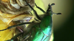 Stock Video Footage of Middle rose chafer  insect macro flower