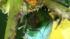 Middle rose chafer  insect macro flower Stock Footage