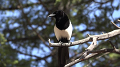 P03631 Black-billed Magpie at Rocky Mountain Park in 4K Stock Footage