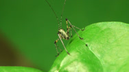 Grasshopper insect green leaf macro Stock Footage