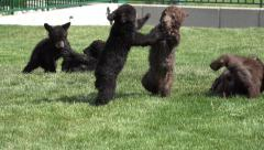 P03648 Bear Cubs Playing Fighting and Wrestling Stock Footage