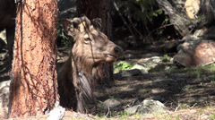 Stock Video Footage of P03633 Rocky Mountain Elk Chewing its Cud in 4K