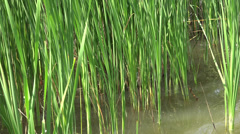 Ultra HD 4K Beautiful green reed lake pond wildlife wild fauna relax vacation  Stock Footage