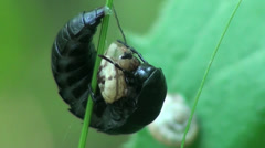 Black beetle shredder snails macro Stock Footage