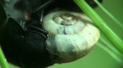 Black beetle shredder snails macro Stock Footage