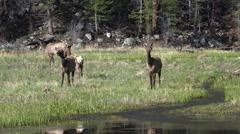 P03625 Rocky Mountain Elk in Meadow with Stream in 4k Stock Footage