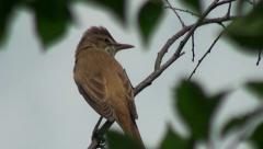 Nightingale bird love song - stock footage