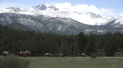 P03641 Elk Herd Feeding with Snow-capped Mountains in Background Stock Footage