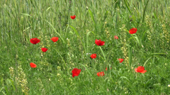 ULTRA HD 4K Poppies flower red blossom natural nature background summer day wild Stock Footage