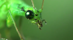 Chrysoperla carnea fly macro insect Stock Footage