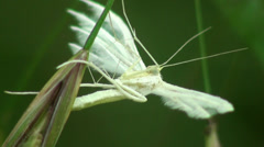 White Plume Moth Butterfly macro Stock Footage