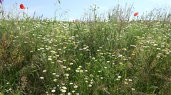 ULTRA HD 4K Kaunis Villi kukka plain kenttä laidun niitty villi kukinta kukkiva Arkistovideo