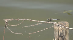 ULTRA HD 4K Closeup detail dragonfly dragon fly rest sitting lake water ripple  Stock Footage