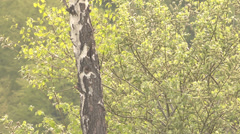 ULTRA HD 4K Closeup detail wood pecker search food trunk tree avian bird green  Stock Footage