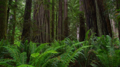 4K Redwood Forest Stock Footage