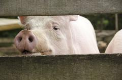 Curious pig looking through fence Kuvituskuvat