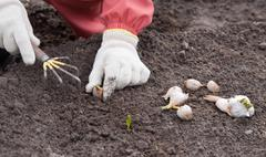 Gardener sets garlic in soil Stock Photos