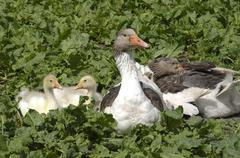 Domestic goose with fledglings Stock Photos