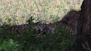 Stock Video Footage of CHEETAH AFRICA WILDLIFE SAFARI