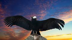 Andean condor against sunset sky Stock Photos