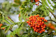 Sorbus aucuparia, rowan or mountain-ash - stock photo