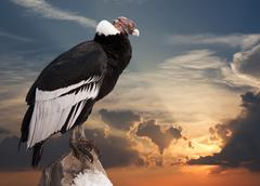Andean condor  against sunset sky - stock photo